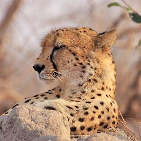 Sleepy Male Cheetah, South Africa