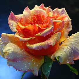 Just after the rain by Gérard CHATENET - Flowers Single Flower (  )