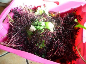 Bez czarny owoce Sambucus nigra fruits