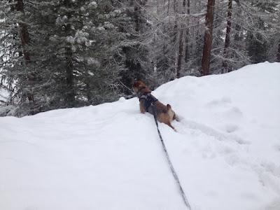 Border Terrier Charly ist aufmerksam und späht sofort ...