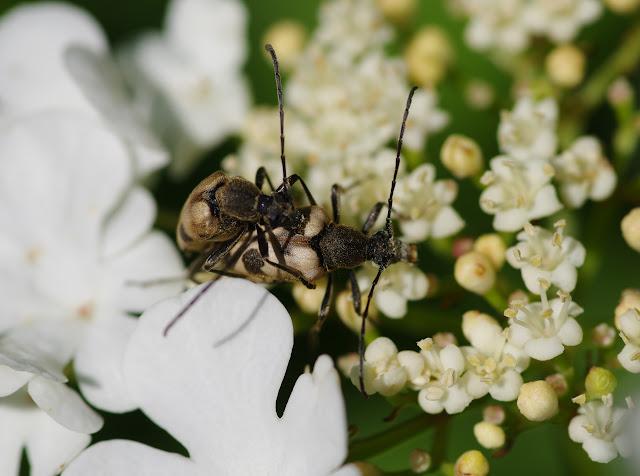 Lepturinae : Pachytodes cerambyciformis SCHRANK, 1781. Les Hautes-Lisières (Rouvres, 28), 25 mai 2012. Photo : J.-M. Gayman