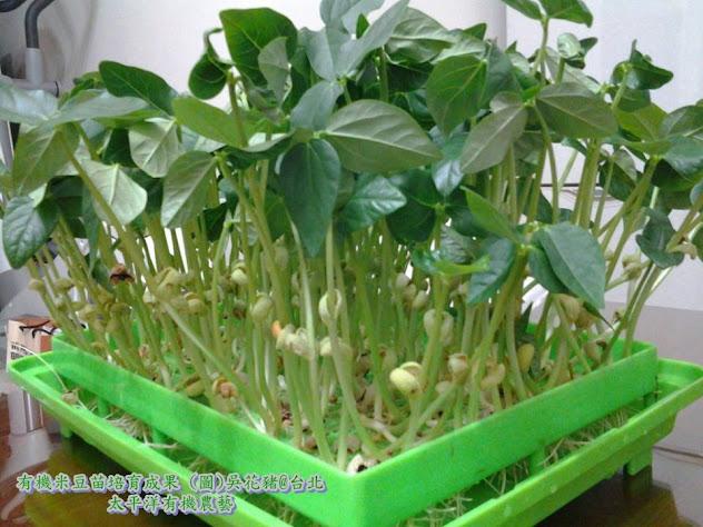 有機芽菜 有機米豆苗 有機芽菜箱 有機芽菜水耕盤 有機芽菜機