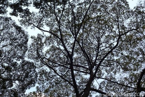 kanopi hutan