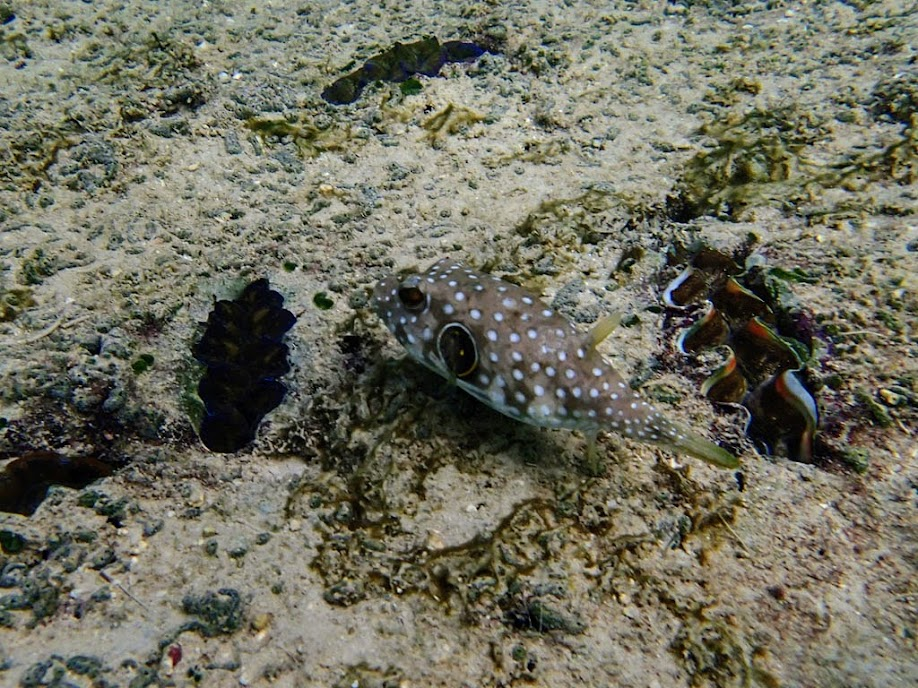 Arothron hispidus (Juvenile Stars and Stripes Puffer), Miniloc Island Resort Reef, Palawan, Philippines.