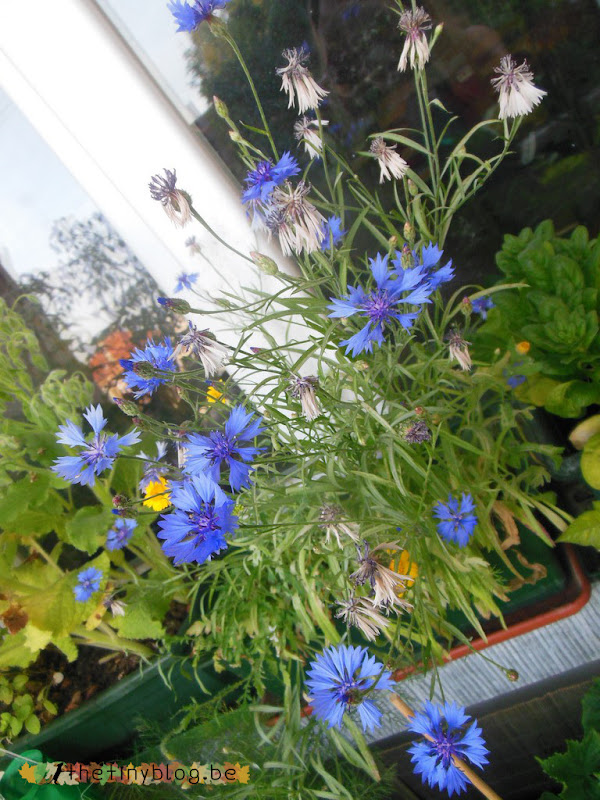 My balcony urban vegetable garden June 2015 in Brussels Wildflowers