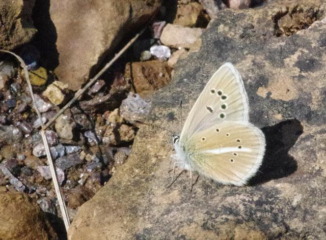 Polyommatus damon (DENIS & SCHIFFERMÜLLER, 1775), mâle. Tras le Mont (820 m), Cocurès (Lozère, France), 3 août 2014. Photo : J.-M. Gayman