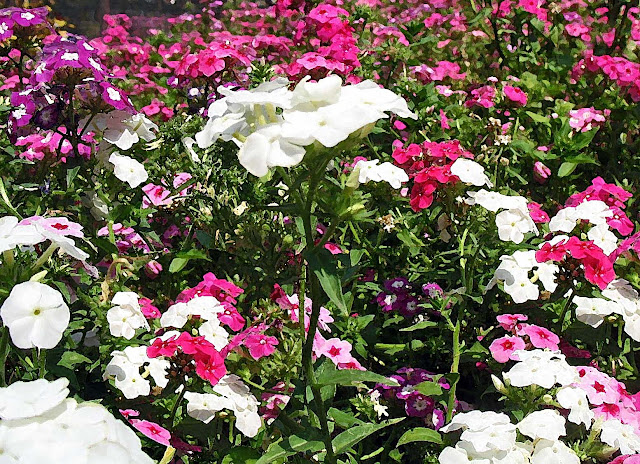 pink and white flower bed