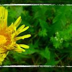 20120831-01-dandelion-vattern.jpg