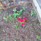 Gardening 2014 - 116_1479.JPG