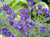 LAVENDER - The essential oil of lavender may be useful for treating anxiety, insomnia, depression, and restlessness & some studies even suggest that lavender can help digestive issues such as vomiting, nausea, intestinal gas, upset stomach, and abdominal swelling.
