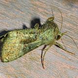 Noctuidae : Amphipyrinae : Neumichtis spumigera GUÉNÉE, 1852. Umina Beach (NSW, Australie), 31 mars 2011. Photo : Barbara Kedzierski