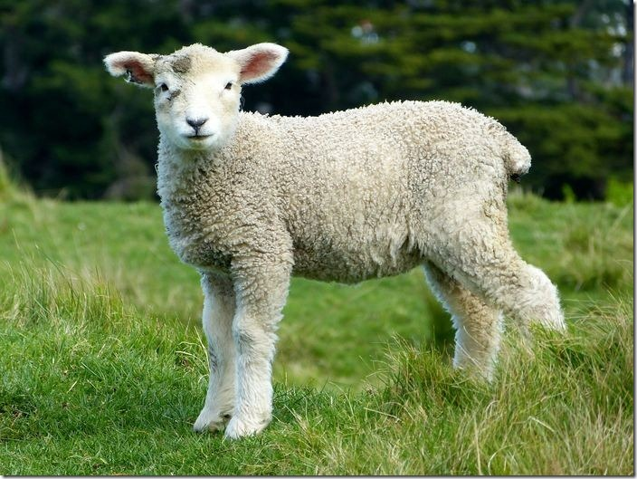 The Islamic meaning of sheep in dream.