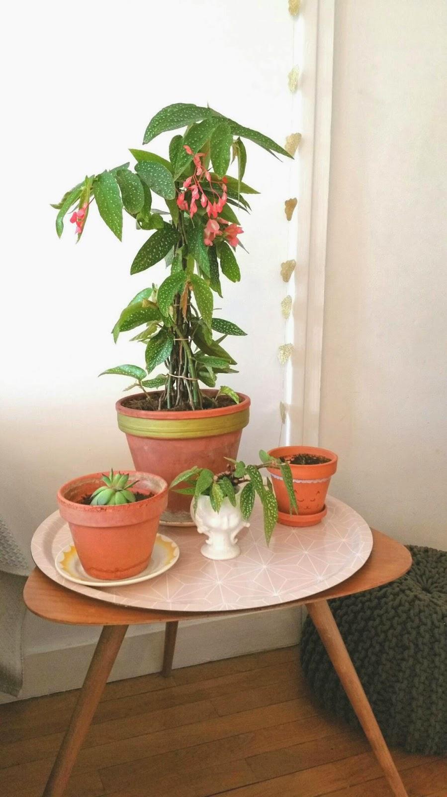 les petites m le tamaya ou b gonia des amoureux plante. Black Bedroom Furniture Sets. Home Design Ideas