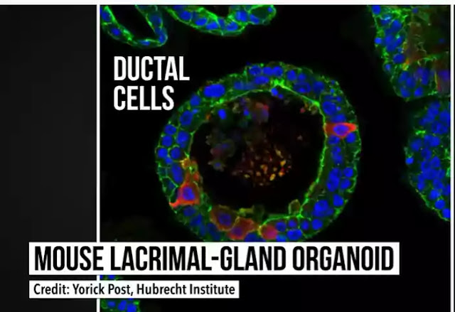 Ductal Cells