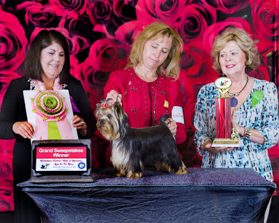 Photos from the Yorkshire Terrier Club of America National Specialty, June 2015