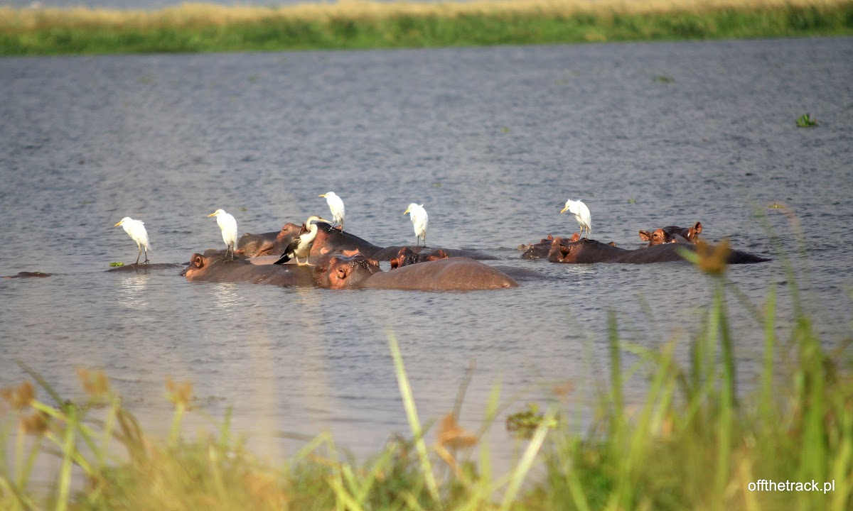 Hipopotamy w wodzie a na nich białe ptaki, park narodowy Murchison Falls, Uganda