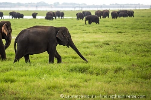 Sri Lanka two week itinerary Elephant in Sri Lanka Minneriya National Park