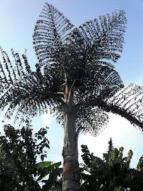 palmier Veitnam nord.JPG