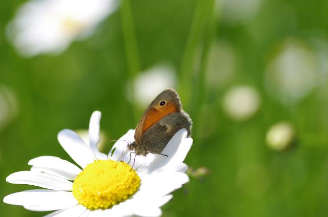 Coenonympha pamphilus. Les Hautes-Lisières (Rouvres, 28), 25 mai 2012. Photo : J.-M. Gayman