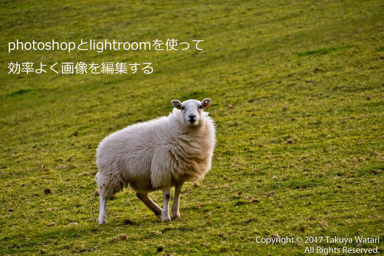 photoshopとlightroomの2つを使って効率よく画像を編集すると書いてある羊の写真