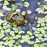 green-frog_MG_5695-copy.jpg