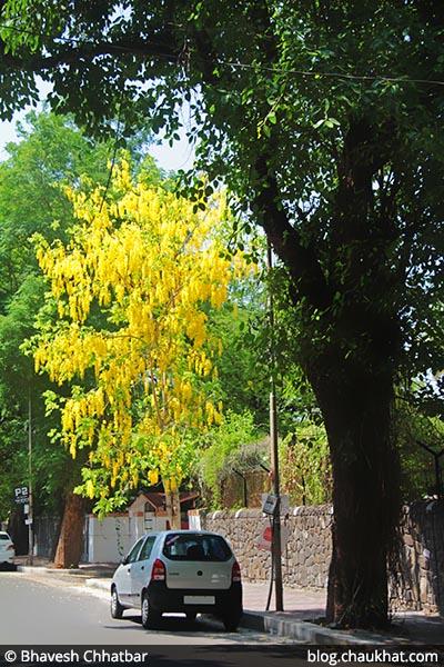 Cassia fistula AKA Amaltas, Golden Shower Tree, Garmalo, Bandar Lathi, Bahava, Sunari, Aragvadha, Chaturangula, Kritamala, Suvarnaka