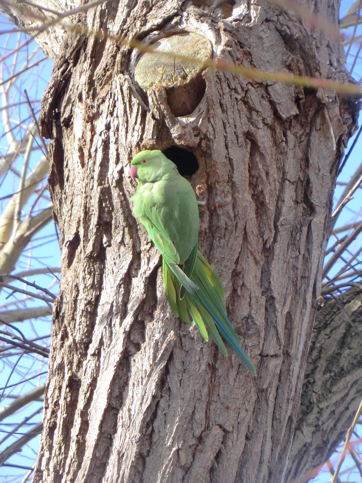 CIMG2677 A rose-ringed parakeet outside its nest