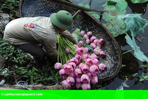 Hình 2: Hà Nội rực rỡ mùa hoa sen