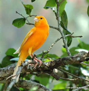 Kenari Orange