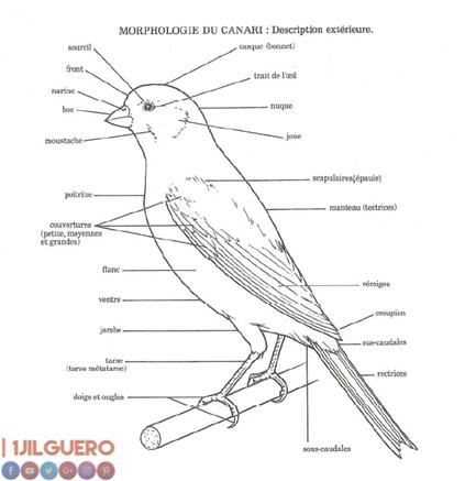 أصل و تاريخ طيور الكناري–الجزء الأول