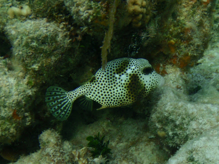 Lactophrys bicaudalis (Spotted Trunkfish) near Tranquility Bay Resort.