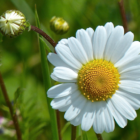 by Laura Payne - Flowers Flowers in the Wild ( plant, wild, overlap, bright, centre, green, white, daisy, crystal, spiral, yellow, circle, close, open, new, fresh, stretch, stamen, closed, bud, tight, pristine, flower, petal,  )