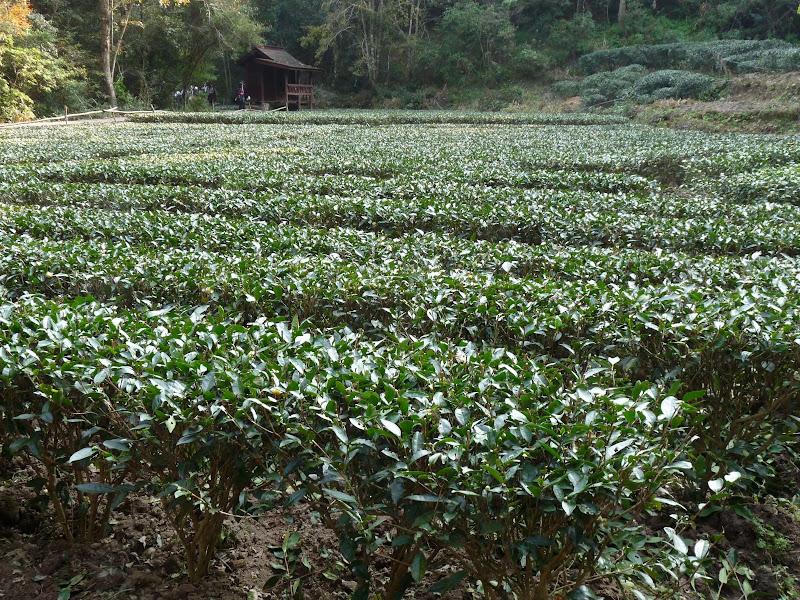 Ce champ produira ,une fois l'an ,environ deux kilos de thé, si j'ai bien compris.
