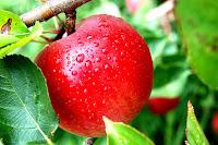 μήλο, καρπός δέντρου, Επιμηλίδες Νύμφες,apple, fruit tree, Epimilides Nymphs