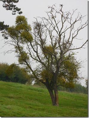9 mistletoe
