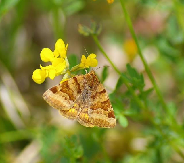 Noctuidae : Catocalinae : Euclidia glyphica (LINNAEUS, 1758). Basses-Lisières (Rouvres, 28), 7 juin 2010. Photo : J.-M. Gayman