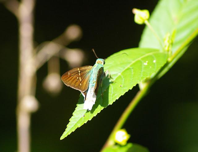 Hesperiidae : Astraptes talus CRAMER, 1777. Entre Popote et Saül (Guyane), 1er décembre 2011. Photo : J.-M. Gayman