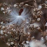 Milkweed-and-goldenrod_MG_2585-copy.jpg