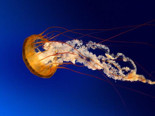 https://lh3.googleusercontent.com/-WJ3FddQpICk/VzPzi6NhjBI/AAAAAAAAAIY/Yg5E5pSuVn4BdK8Dilu5ocSV6WNEq5cIA/w506-h750/Jellyfish.jpg
