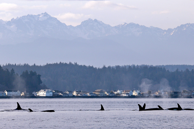 Orcas from pod J in Puget Sound just west of Seattle. The number of orcas in the area, listed as endangered since 2005, has dwindled to a 30-year low. Photo: Elaine Thompson / Associated Press