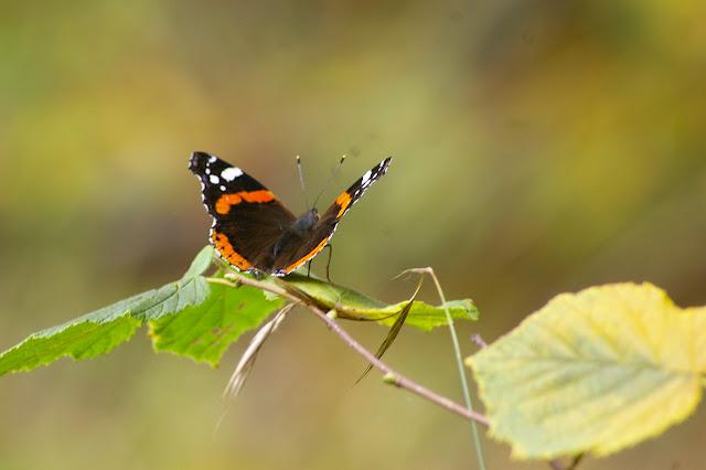 Vanessa atalanta LINNAEUS, 1758, dans une clairière en Forêt de Dreux, 8 octobre 2009. Photo : J.-M. Gayman