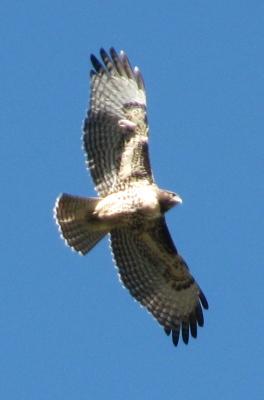 more hawk