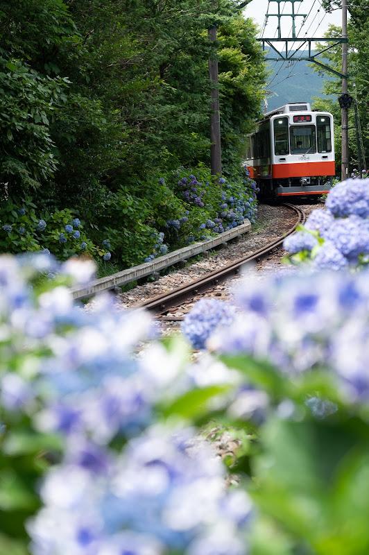 200712 彫刻の森近くの紫陽花と試運転列車