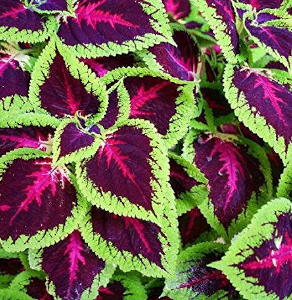 Plectranthus scutellarioides plantas de hoja violacea y rojiza