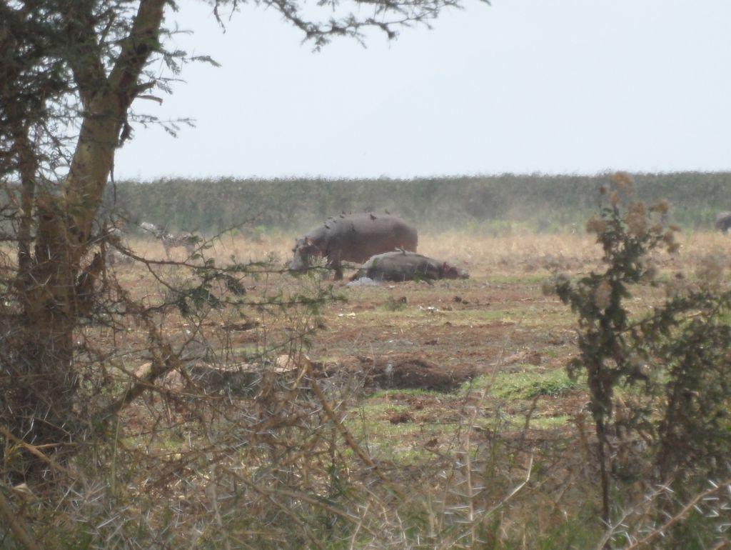 Mayara'da Hipopotamlar