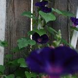 Gardening 2012 - IMG_3137.JPG