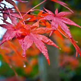 Momiji by Curly Yanni - Nature Up Close Leaves & Grasses ( mapple, momiji, leaf, leaves,  )