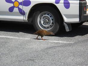 Photo: Un weka dándose un paseo