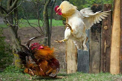 4 Tips to Make the Physical Body of the Fighting Chicken Become Hard
