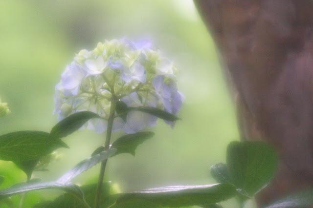 ベリート 紫陽花